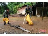 廣西貪吃3米長蟒蛇闖農舍 落網太緊張「吐出3隻鴨」