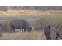 牛角卡廢棄輪胎!非洲白犀牛超喪氣 4人幫脫困開心搖尾巴
