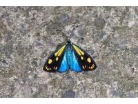 夢幻翅膀 屏東浸水營首次發現罕見「天藍狹翅斑蛾」!