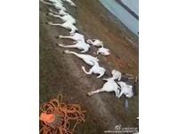 照片橫屍17隻死天鵝 內蒙「正藍旗天鵝湖」屠殺太變態