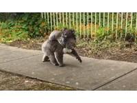 忽有灰毛球循人行道而來!原來是無尾熊媽媽背孩子散步啊~