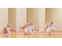 萌貓「波醬」走路姿勢超古怪 網友秒笑噴:特技表演嗎?