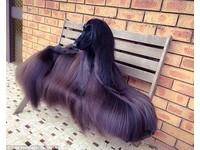世界最漂亮的狗?髮如黑瀑 阿富汗獵犬「茶」網路爆紅