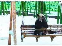 熊貓遇大雪瞬間變「狗」 愛睏佑佑「神速」跳滾玩鞦韆