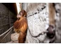 餓一年吃不飽!紅毛猩猩遭拴暗巷 只能抱著自己蜷曲入睡