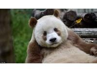 誰說只能黑白配!世界唯一一隻的棕色熊貓