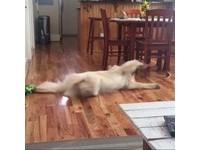 是想跑去哪裡?黃金獵犬夢中狂奔 速度太快還原地自轉半圈