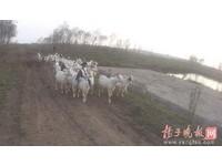 失竊的52隻羊咩咩找到卻認不出 靠「喝奶認親」破案了!