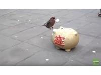 小鳥街頭表演叼硬幣投進大豬公 幫存錢也替自己賺點心