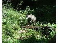 長得像山羊的斑羚 消失10多年列近危!北京山中現蹤了