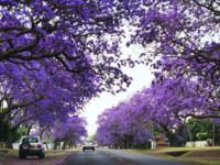 漫步紫色花瓣雨中!澳洲最浪漫小鎮美過普羅旺斯