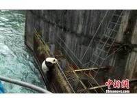 渡河失敗!四川野生大熊貓緊抓鐵網 使出全力往上爬