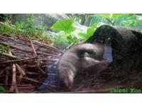 天氣濕冷動物們反應不一 歐亞水獺直接睡到掉出樹洞