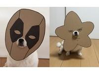 這隻狗居然可以一秒變死侍?與紙板完美結合的吉娃娃