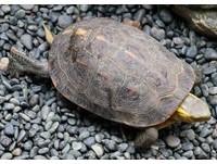 就是這2種龜!違法養了10多年 齊柏林:不知是保育類