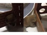 是椅子先動手的!小柴犬塞頭進板凳洞 才剛脫困...又塞一次