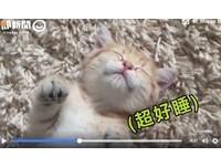 睡到變殭屍!萌喵四腳朝天伸超直 大貓傻眼:能睡好嗎