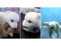 60秒看完呆萌「進化史」! 小北極熊嗨過第一個生日