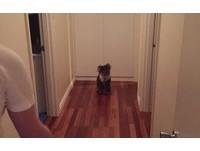 原來是無尾熊啊!灰色生物鑽狗門溜進住家 全家尖叫