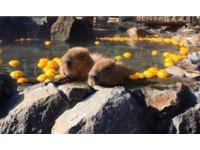 水豚泡溫泉「瞇眼漂浮」 伊豆仙人掌公園的冬季限定