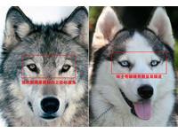 哈士奇與狼一起關狼館 園方:牠有一定地位