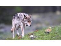 哀悼832F!黃石公園野狼遭獵殺引爭議 紐時登訃聞