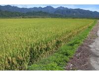 第2期作公糧稻穀收購 台東至12月10日花蓮至12月20日