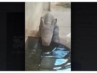 犀牛寶寶攀水池喝水!大耳朵動啊動 20秒影片萌翻網友