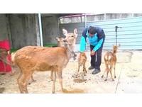 讓「鹿港」如其名 區公所直接買6隻梅花鹿