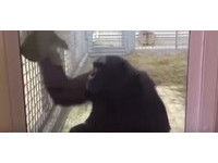 俄國黑猩猩Elya愛擦玻璃窗 自豪將環境清的乾淨溜溜