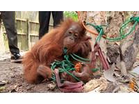 紅毛小猩猩四肢遭綁呆坐樹下 眼神透露出無止禁的絕望