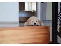 小黃金獵犬遇比腿長樓梯 趴下秒成厭世臉麻糬:好累我放棄