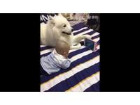 薩摩耶犬前腳撐平板 專業化身肉球支架