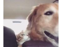 「媽,要到了沒?」黃金搭車興奮狂撞 橘貓攀前座眼神死