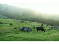 天國般美的天狗高原 可愛牛群漫步在雲海中