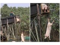 每天逼豬群上高台...跳水「自殺」 農村大叔:價高3倍