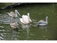孤單39歲白鵜鶘終於有伴! 追著4粉紅背鵜鶘搶魚吃