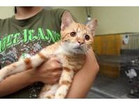 小橘貓琥珀色大眼「全盲」 小腦障礙卻搖晃著到處討摸