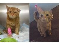 耳朵壞了脊椎也斷掉 「哭哭橘貓」到新家1小時就重生