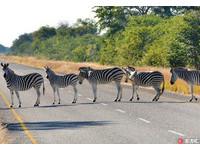 天然「斑馬線」! 非洲5斑馬排排站可愛過馬路