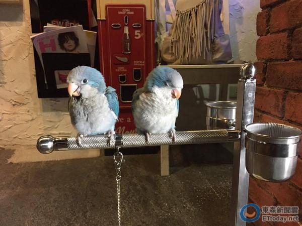 蓝和尚鹦鹉夫妻档 甜蜜睡出 绿色爱心 闪瞎大家