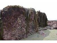 紐西蘭震出2公尺「黑鮑牆」 漁民看傻湧入幫放生!