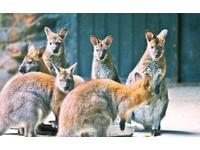 體長僅50公分! 鄭州動物園新朋友「圓盾大袋鼠」超萌
