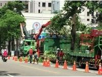 新竹街頭狂飄刺激塑膠怪味... 「黑板樹」開花惹禍了