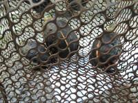 「臉都丟光了」食蛇龜瀕危還不斷走私 台灣成盜龜王國