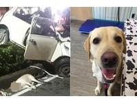 再也看不見牠笑...3月才除役 導盲犬Friday死於酒駕競速