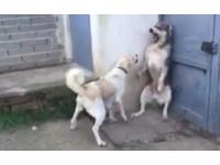 大狗輕吠一聲小孩嚇到翻掉 狗媽媽光速衝來把牠罵到貼壁