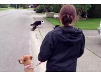 貓咪被「爆衝狗」嚇到怒追 旁觀大黃愣住:發生什麼事?