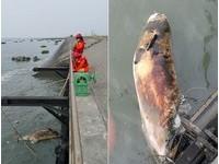 慘!渾身傷只剩空洞眼窩 鼠海豚腐屍飄彰化海邊