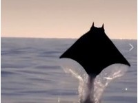「蝙蝠俠」展開披風躍出海面! 真面目原來是「魔鬼魟」